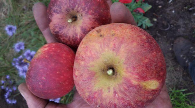 Die letzten Herbstäpfel…